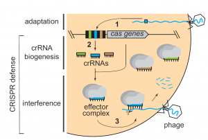 General mechanism of CRISPR-Cas immunity