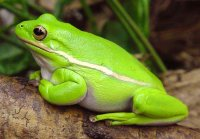small green frog perched on a branch