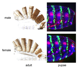 male and female morphology