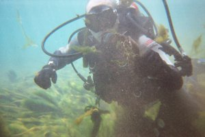 Ryan Earley, wearing scuba gear, swims through algae