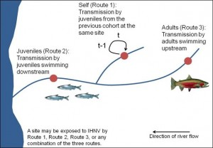 chart showing transmission dynamics of fish swimming up and downstream
