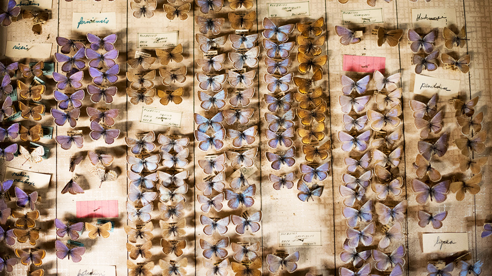 a tray of butterfly specimens
