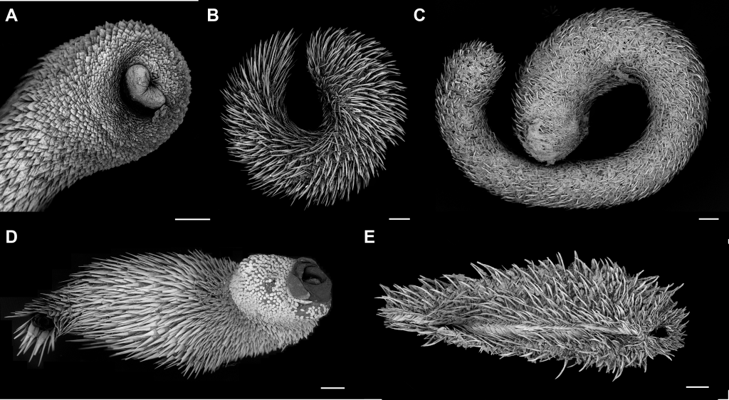 Scanning electron microscope images of species spanning the diversity of the aplacophoran molluscs