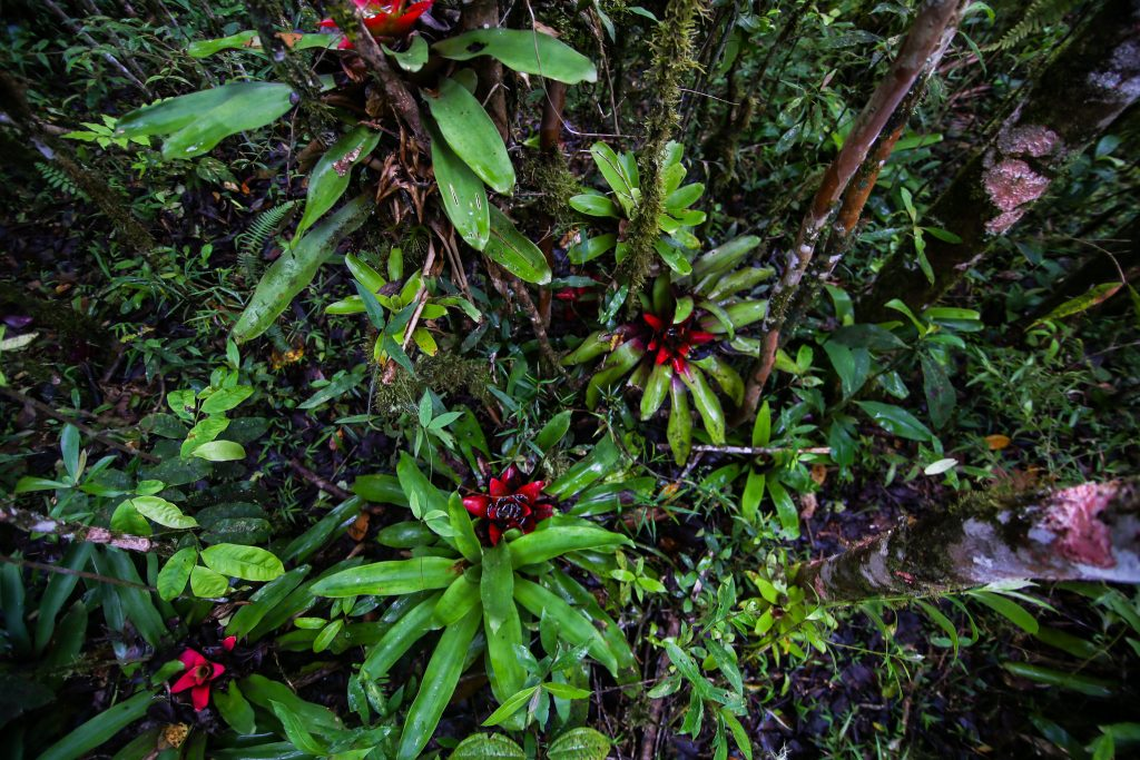 Bromeliads in the wild
