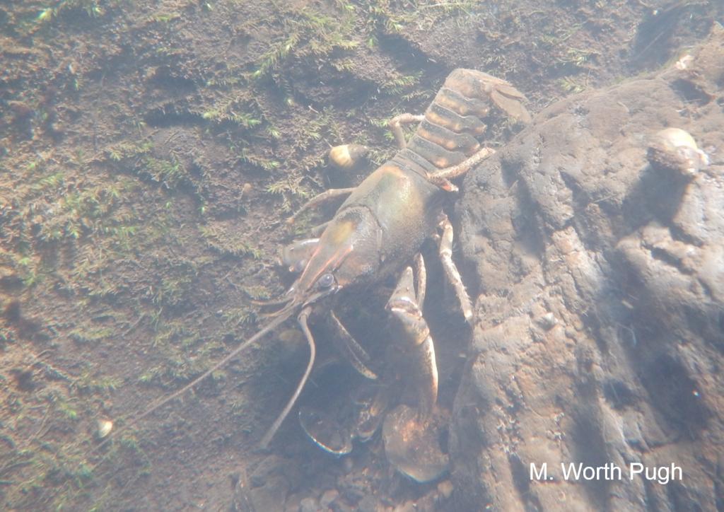 Cahaba crayfish